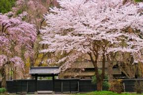 角館武家屋敷と満開の桜