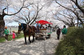 展勝地の桜と馬車